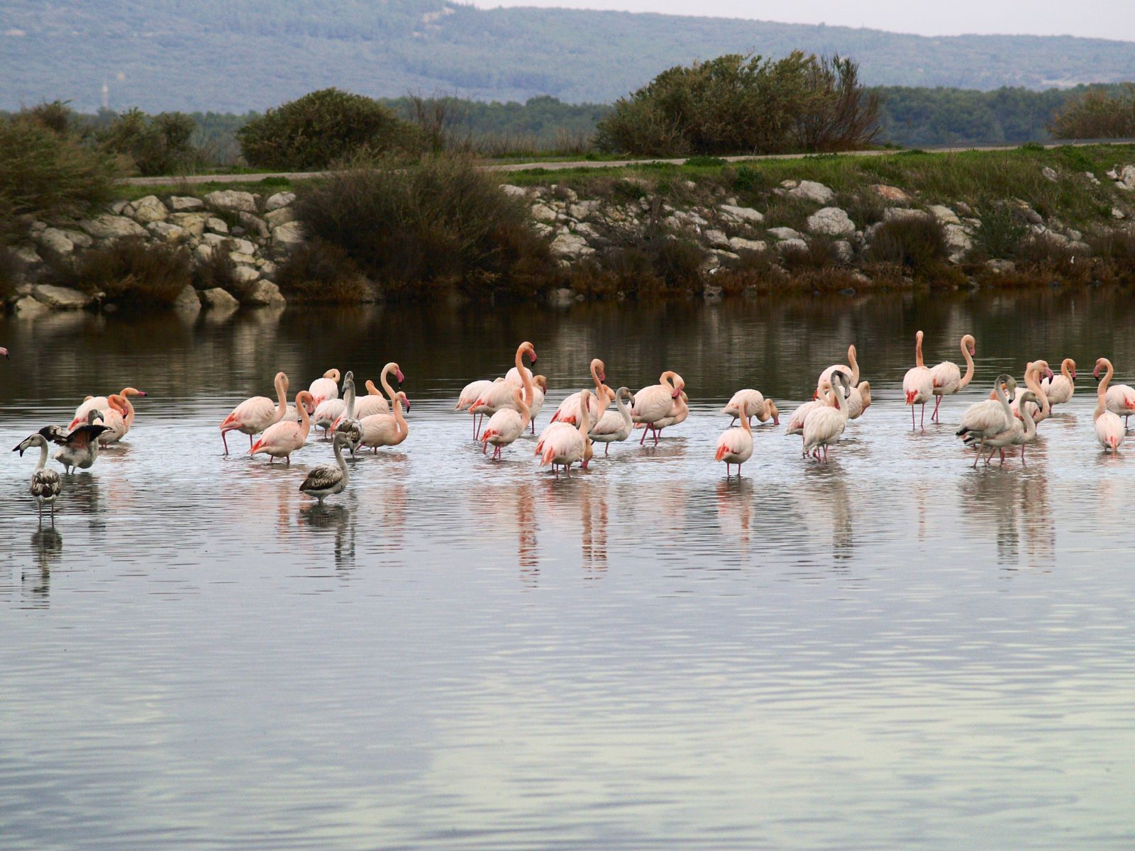 camargue flamants rose